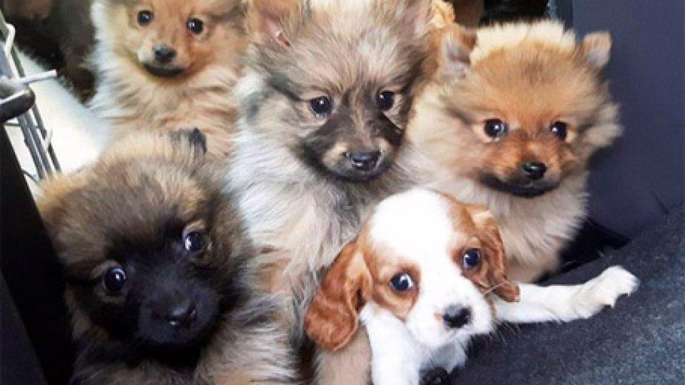 Alcuni cuccioli sequestrati a Rimini