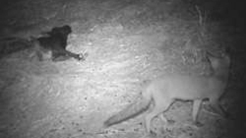 """Le immagini della fototrappolaNella notte una volpe ha rubato ai lupi i resti della capretta """"Belen"""""""