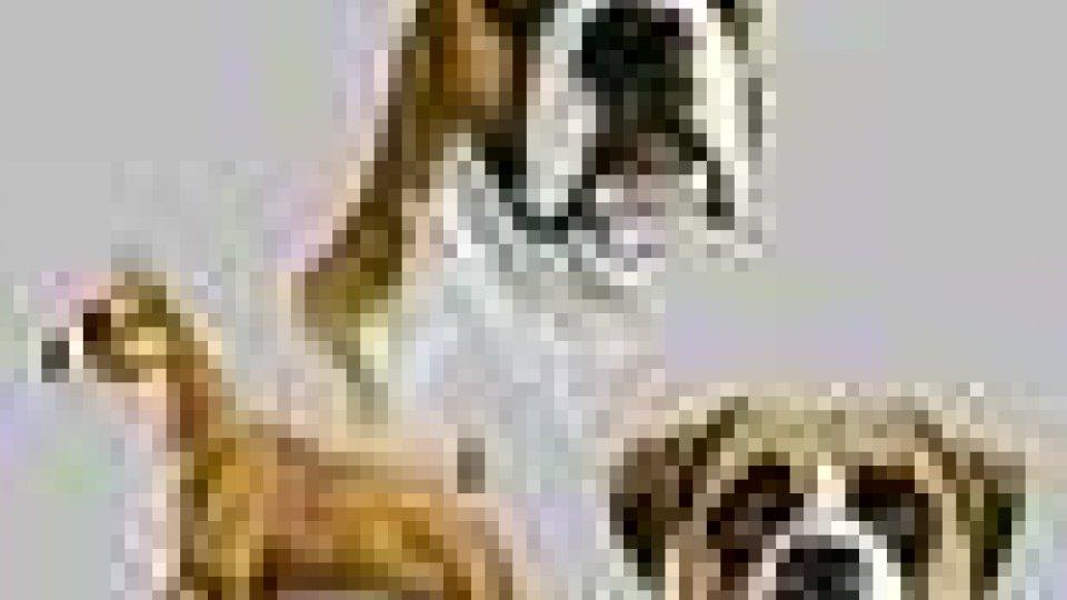 Smarrito cane boxer femmina