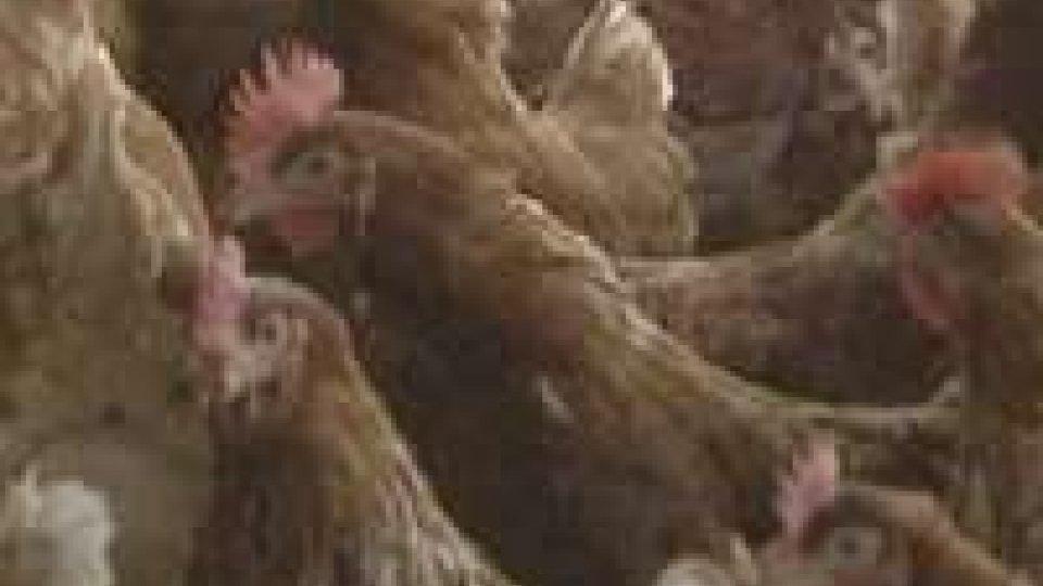 Aviaria: terzo caso di contagio umano