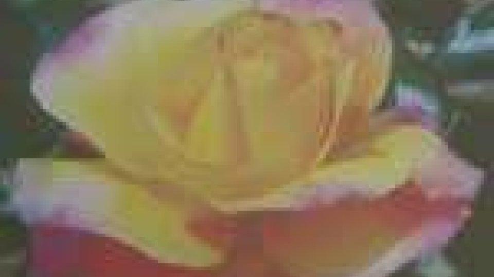 """La rosa """"Rep. di San Marino"""""""
