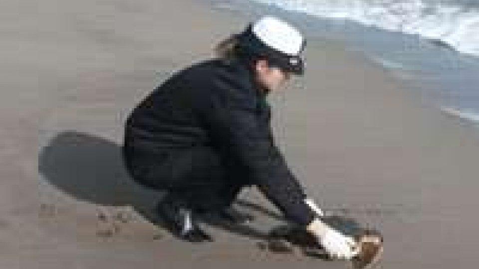 Tartarughe spiaggiate lungo la costa del Fermano