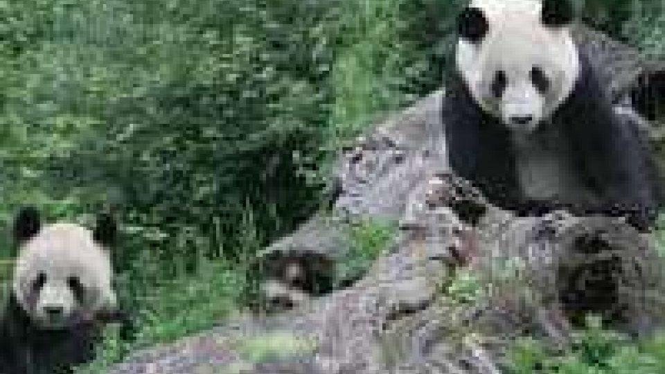 Nato un baby panda allo zoo di Vienna