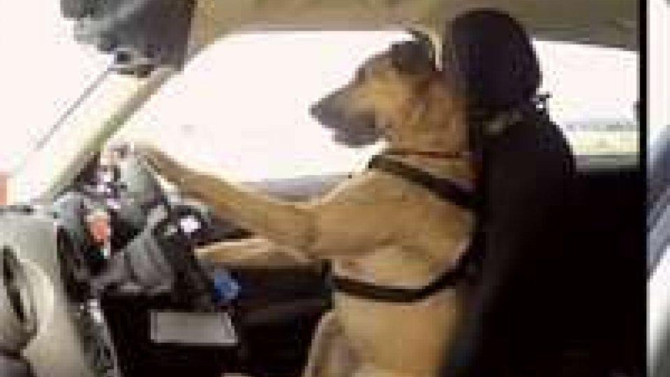 Nuova Zelanda: cani al volante superano esame di guida
