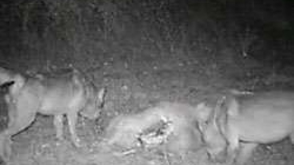 Due lupi filmati a San MarinoIl video dei primi due lupi filmati a San Marino