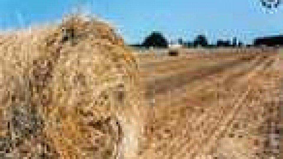 Raccolto di cereali: poco, ma buono