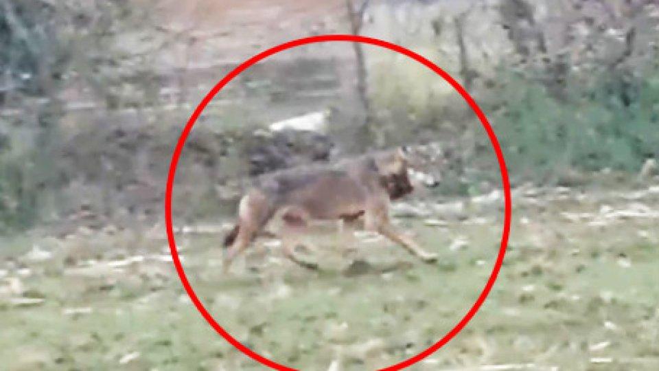 """Avvistamento[VIDEO] Un lupo """"di mare"""" a Torre Pedrera? Video-avvistamento al vaglio dei Forestali"""