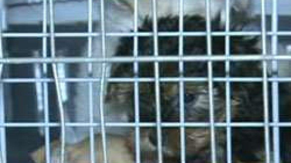 Rimini: sequestrati 12 cuccioli di cane importatiRimini: sequestrati 12 cuccioli di cane importati