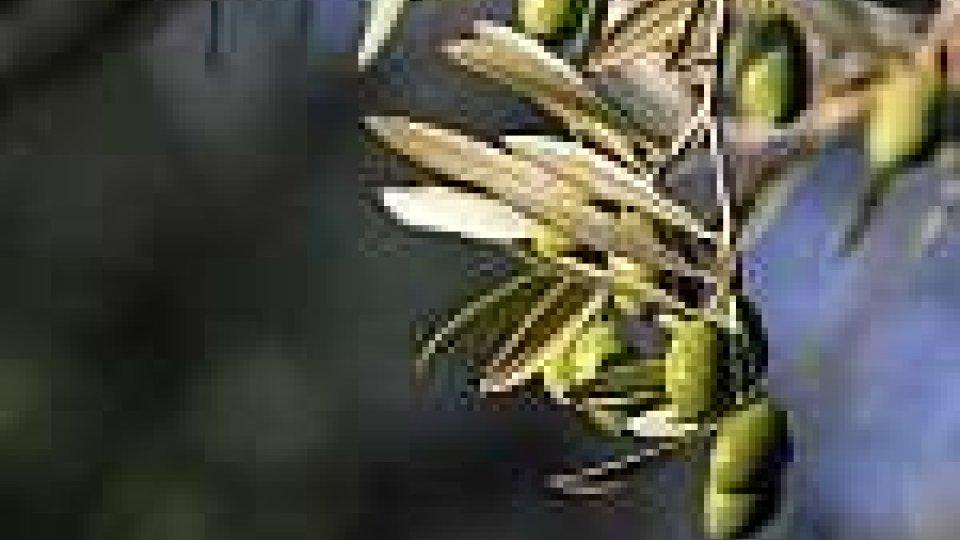 In vendita piantine d'ulivo a favore dell'Ustal-Unitalsi