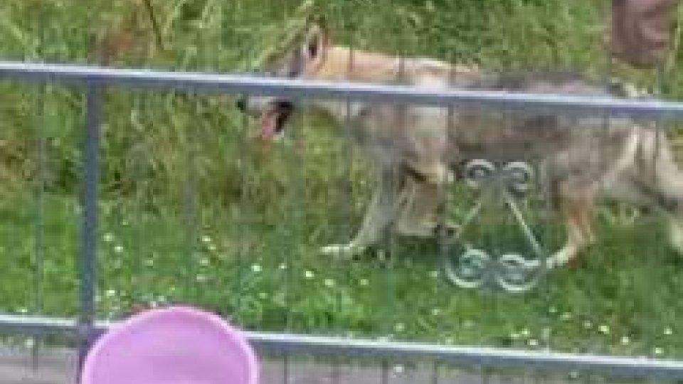 Il lupo avvistato