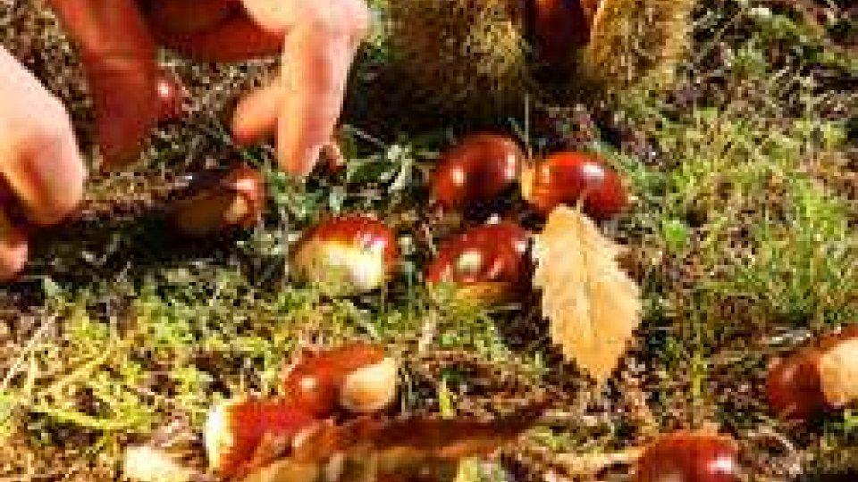 Strage del parassita, castagne in crescita del 25%