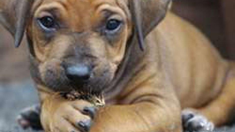 Riccione. Cuccioli di cane nascosti in un carro attrezzi, tre denunce