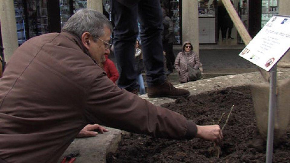 La messa a dimora della pianta in piazza Garibaldi