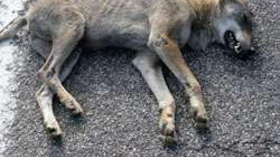 Incidente a Borgo Maggiore: investito e ucciso un giovane lupo