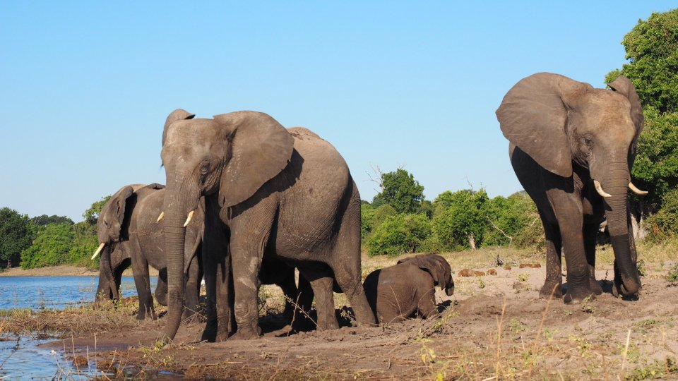 La popolazione degli elefanti è passata dai 5-10 milioni di esemplari del 1930 ai 500.000 attuali
