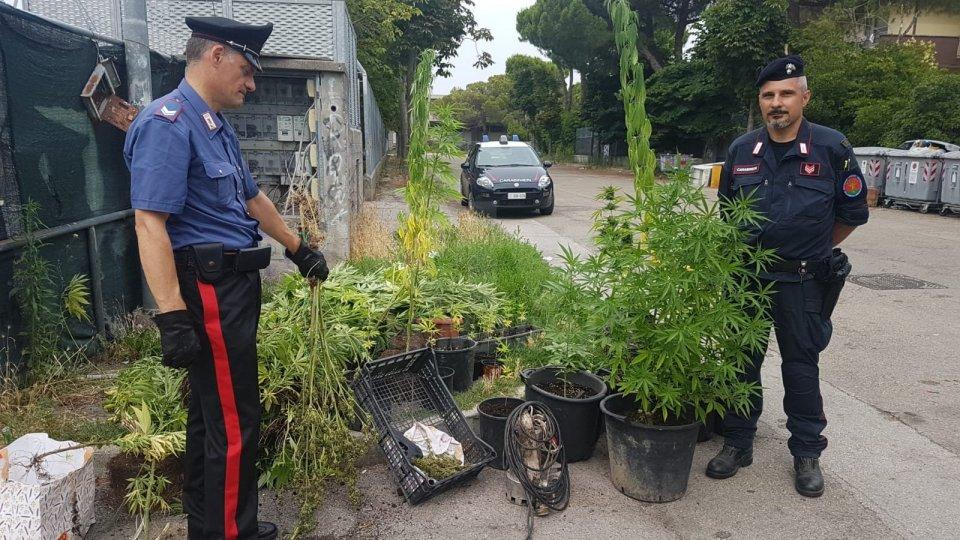 Viserba: Carabinieri sequestrano piantagione di marijuana al Campo Nomadi di via Islanda