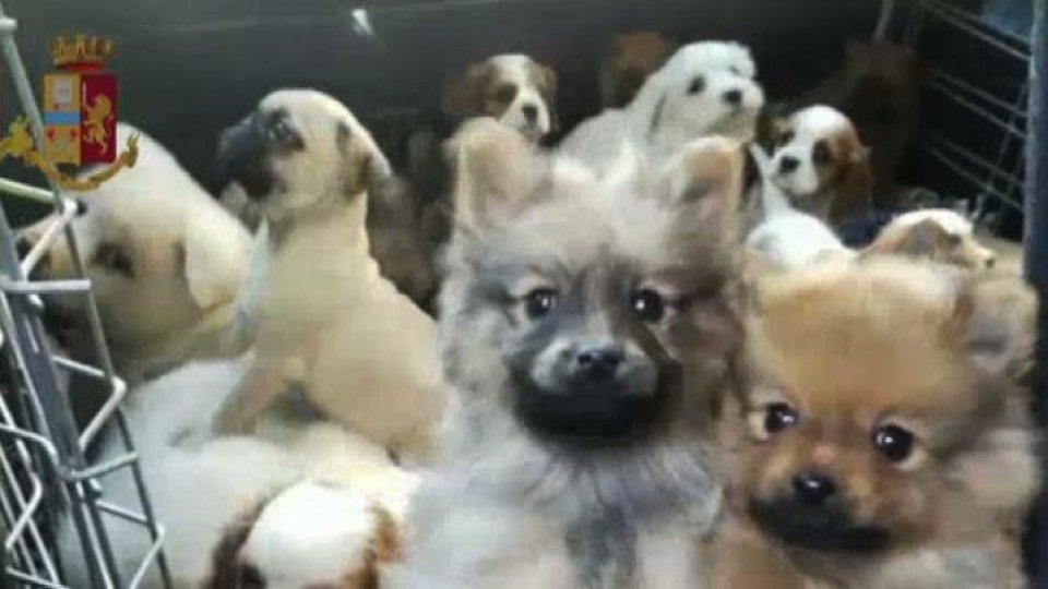 Traffico illegale di cani: detenuti in Italia due cittadini slovacchi