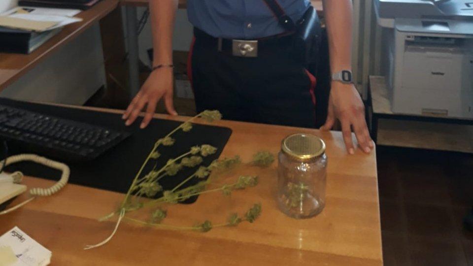 """Novafeltria: coltiva """"maria"""" in casa, Cc sequestrano la pianta e denunciano 36enne"""