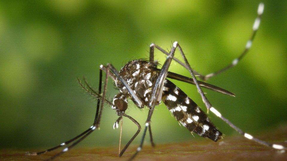Una zanzara tigre