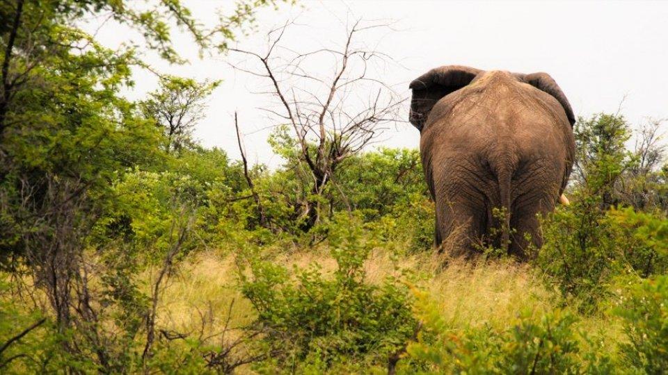 La strana storia degli elefanti ubriachi