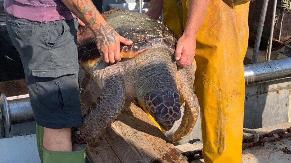 Fondazione Cetacea Onlus: Ultima giornata di apertura della pesca in alto Adriatico: recuperata grossa tartaruga marina adulta