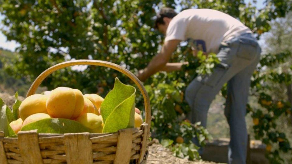Crisi della frutta, Confagricoltura E.Romagna: «Calo delle giornate lavorative di oltre il 15% nel comprensorio d'eccellenza delle albicocche, susine, pesche e nettarine, senza contare la riduzione di manodopera nel post-raccolta