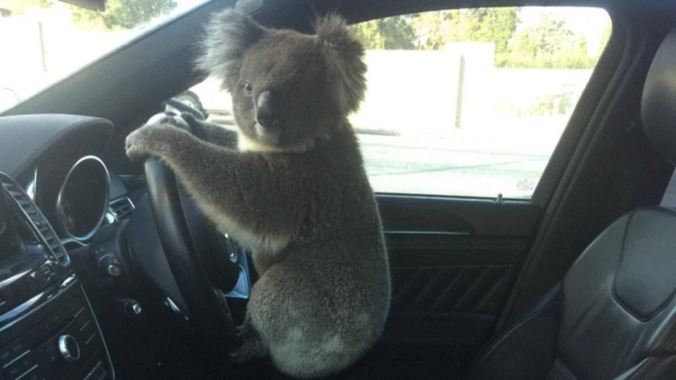 Il Koala pilota