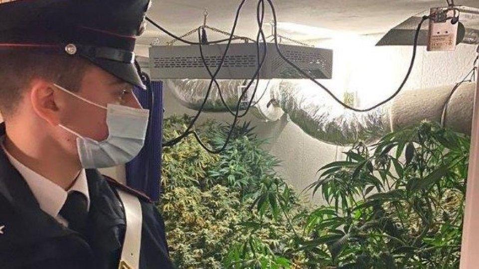 Saludecio: Cc scoprono serra con 10 chili di marijuana, arrestato 28enne