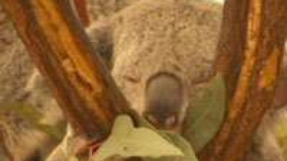 Il koala nella lista delle specie a rischio