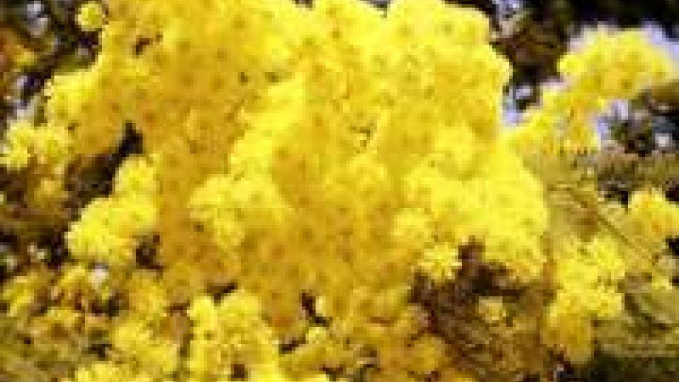 8 marzo. Coldiretti: freddo e pioggia, -20% produzione mimose