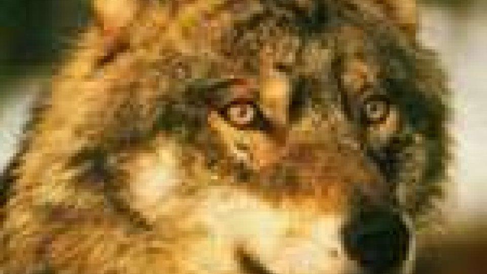 Pennabilli: tornato in libertà il lupo trovato a Ponte Messa