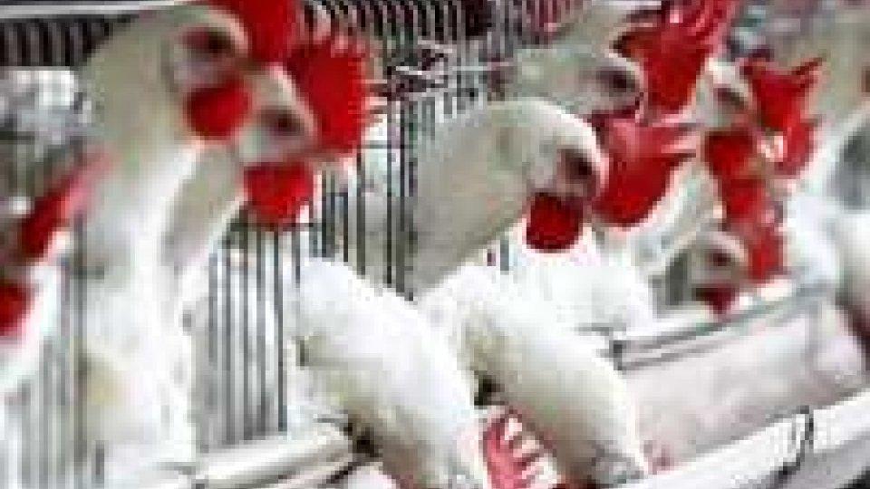 Focolaio di aviaria nel ferrarese: l'abbattimento degli animali durerà una settimana