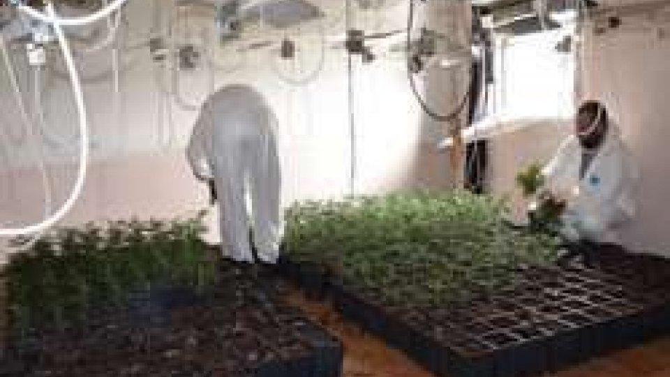 'Fabbrica' di cannabis in un casolare di Savignano