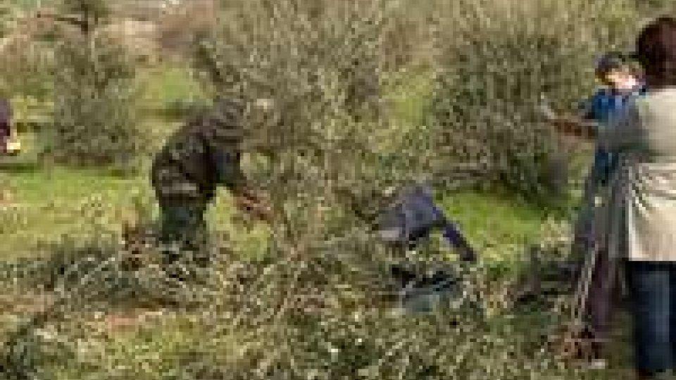 Potatura degli olivi: un centinaio al corso
