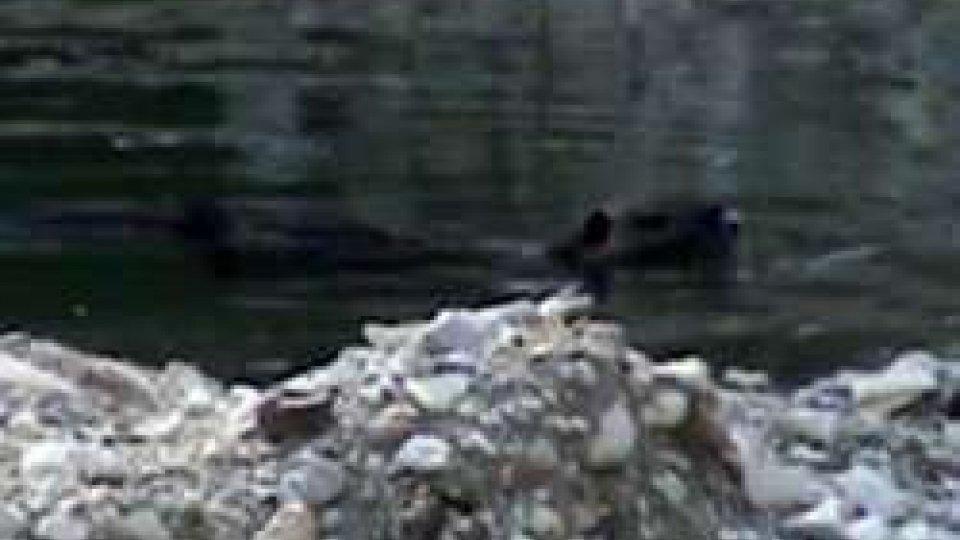 Filmata una nutria nell'alveo del torrente San MarinoFilmata una nutria nell'alveo del torrente San Marino