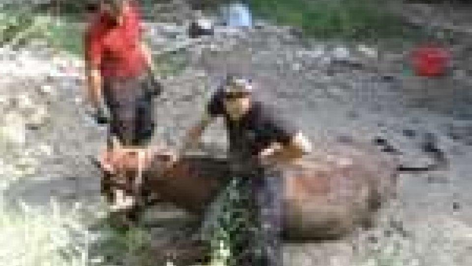 Cavallo caduto nel fiume Uso salvato dai vigili del fuoco di Rimini