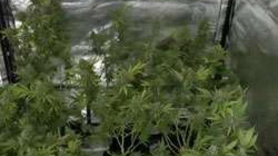 coltivava marijuana in casa