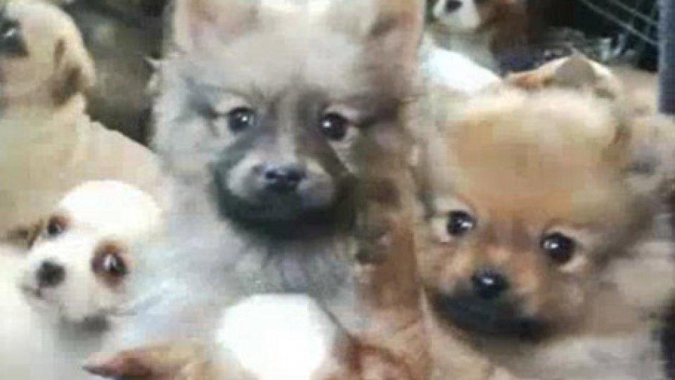 Il video della PoliziaPolizia di Rimini scopre tratta illegale di cuccioli dalla Slovacchia