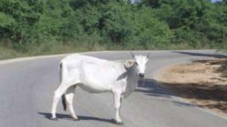 Mucca in strada