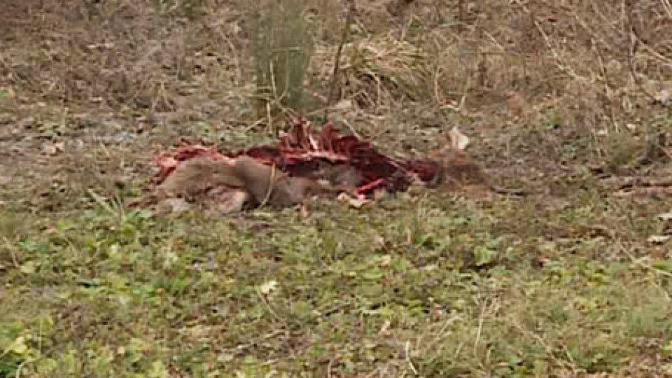 La carcassa del capriolo[VIDEO] Carcassa di Capriolo a Cailungo: o predato da lupi oppure dilaniato da cinghiali dopo investimento