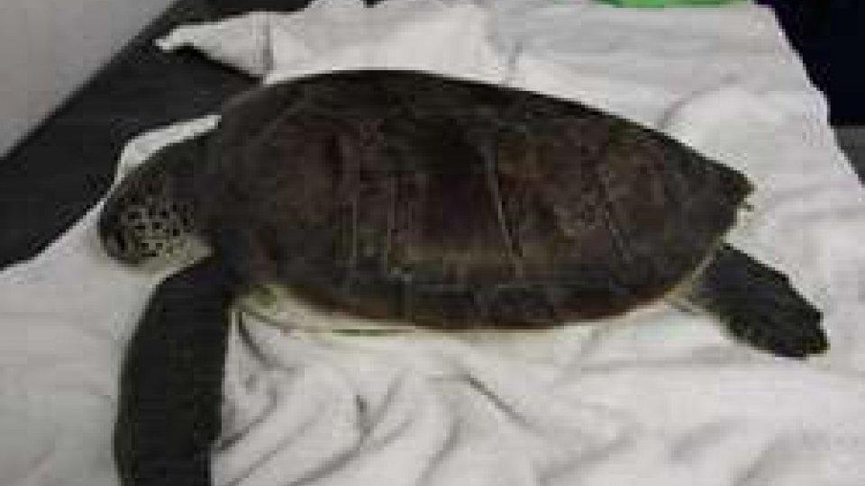 Trovate due tartarughe verdi tra Cesenatico e Rimini