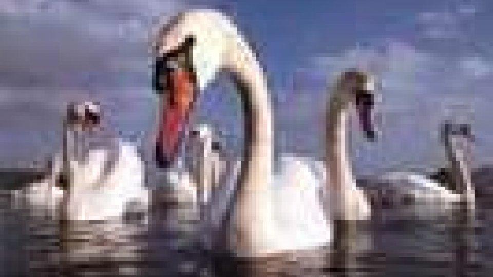Aviaria: colpiti cigni in tre regioni italiane