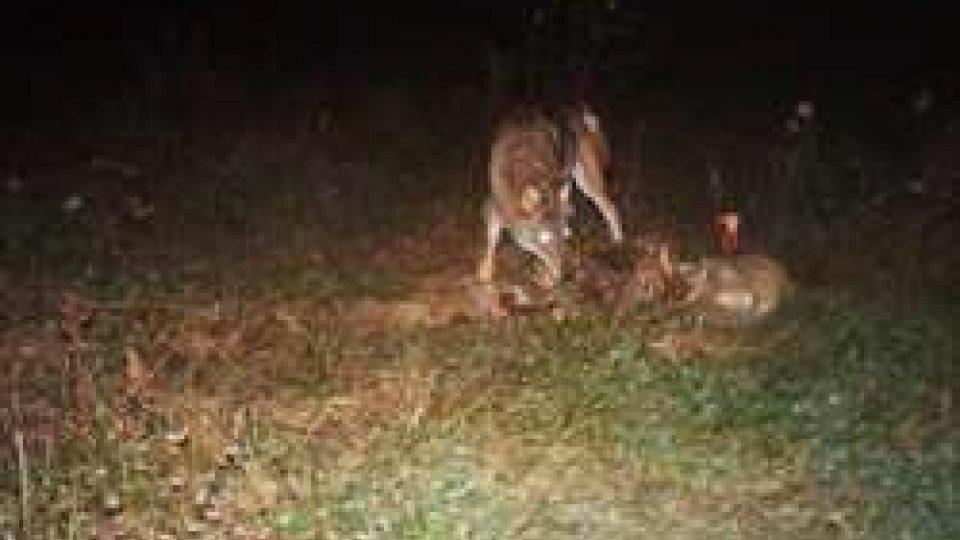 Lupi a ChiesanuovaLe immagini di una coppia di lupi a Chiesanuova dopo la predazione di due ovini