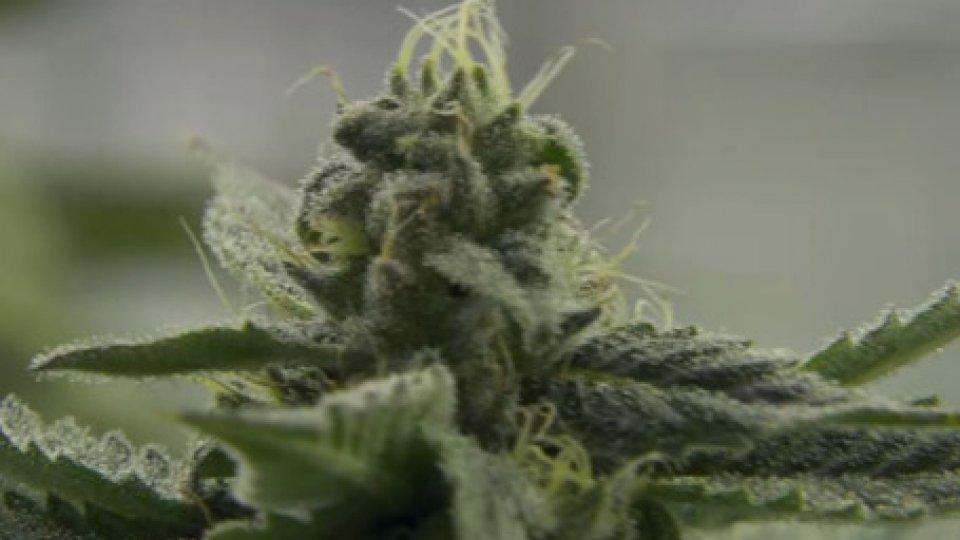 CannabisCannabis: esperti al lavoro per produrre una bozza in grado di colmare lacuna legislativa