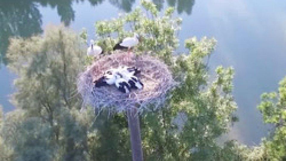 Nati 5 piccoli di cicogna al parco OltremareFiocchi azzurri e rosa al parco Oltremare di Riccione. Nati 5 piccoli di cicogna