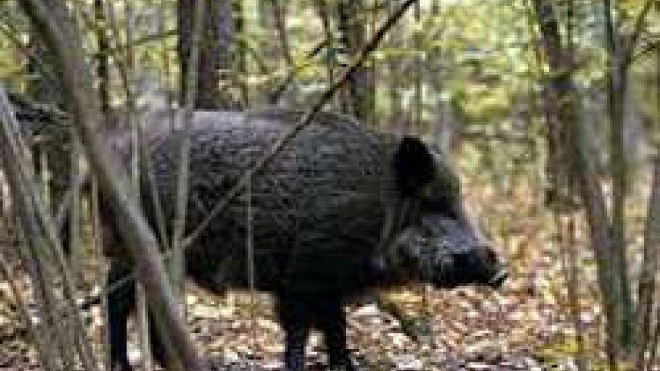 Federazione caccia: il 31 ottobre  si apre la caccia al cinghiale