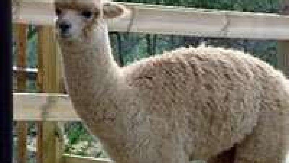 Allevare alpaca a San Marino: è l'iniziativa di una professionista sammarineseAllevare alpaca a San Marino: è l'iniziativa di una professionista sammarinese