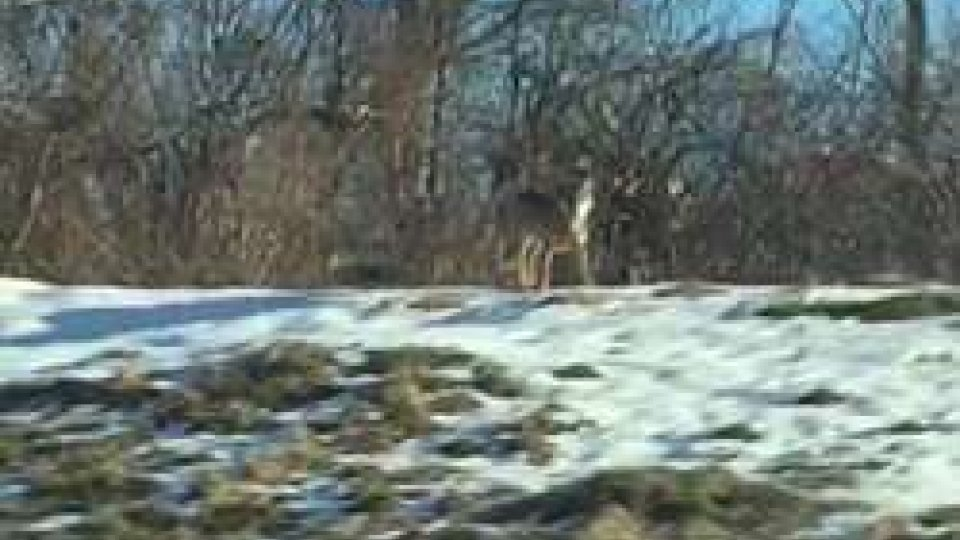 San Marino: avvistato lupo nella neveSan Marino: avvistato lupo nella neve