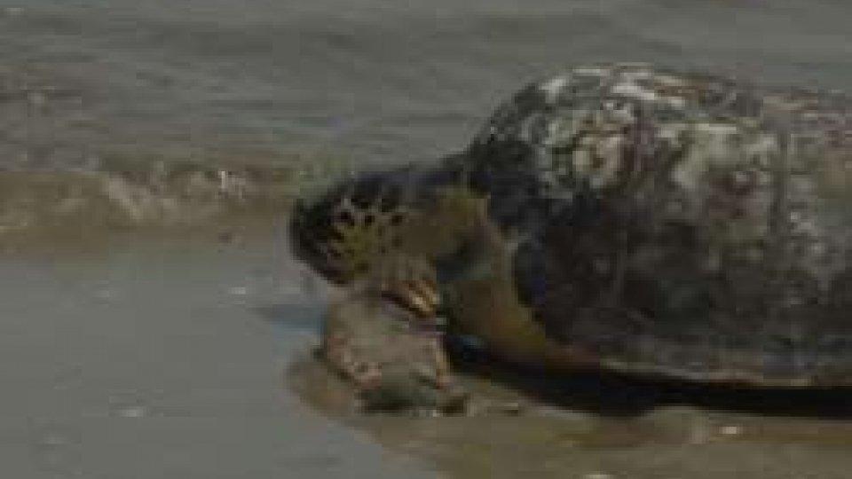 Save the TurtlesRiminibeach, un tuffo in mare per adottare le tartarughe di Riccione