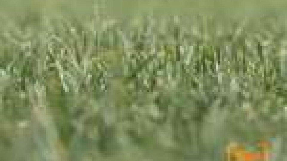 Cesena. Il Manuzzi saluta l'erba, arriva il sintetico